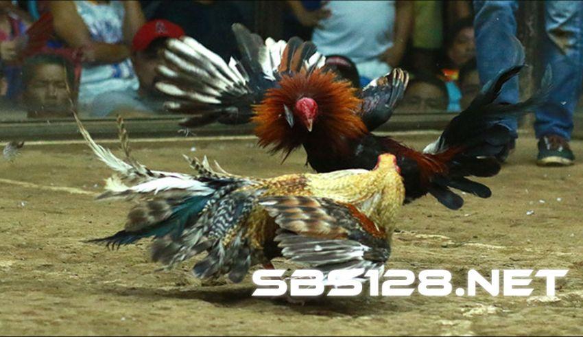 Daftar Agen SV388 Sabung Ayam Live Terpercaya
