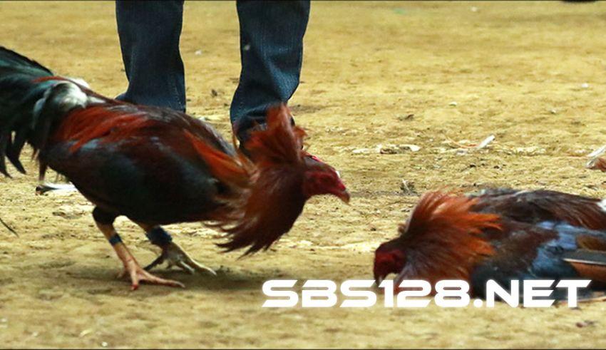 Download SV388 Apk Sabung Ayam Online Terpopuler