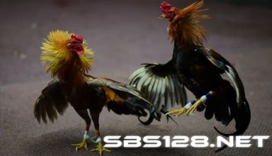 Daftar Akun SV388 Sabung Ayam Live Terpercaya