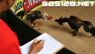 Indikasi Bermain Taruhan Sabung Ayam Online SV388